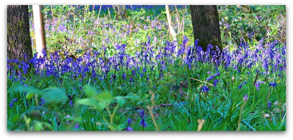 A stroll through the bluebells 3
