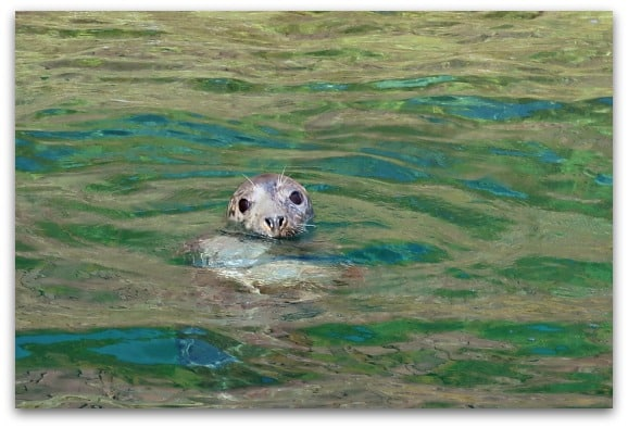 One of the seals from the Caldey Island colony