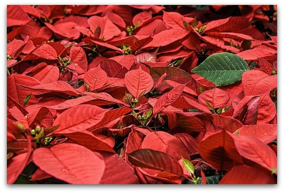 I discovered that the poinsettia is my birth flower