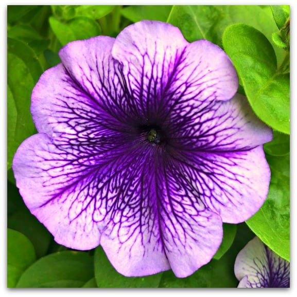 I am rubbish at gardening but I can grow Petunias