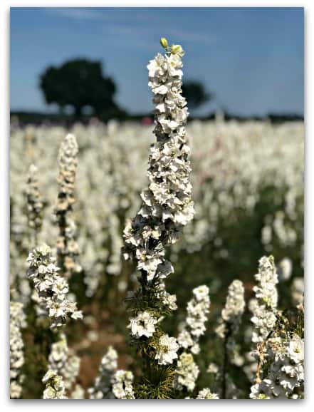 White Delphinium Close Up