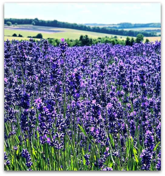 Why I want more flowers in the garden - Lavender Fields