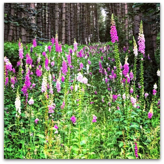 Why I want more flowers in the garden - foxgloves