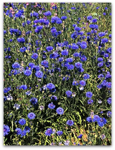 nestled in amongst the delphiniums there is a row of beautiful cornflowers